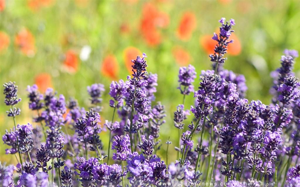 zájezdy Francie - Francie - Provence - regionální přírodní park Lubéron - kraj co voní levandulí
